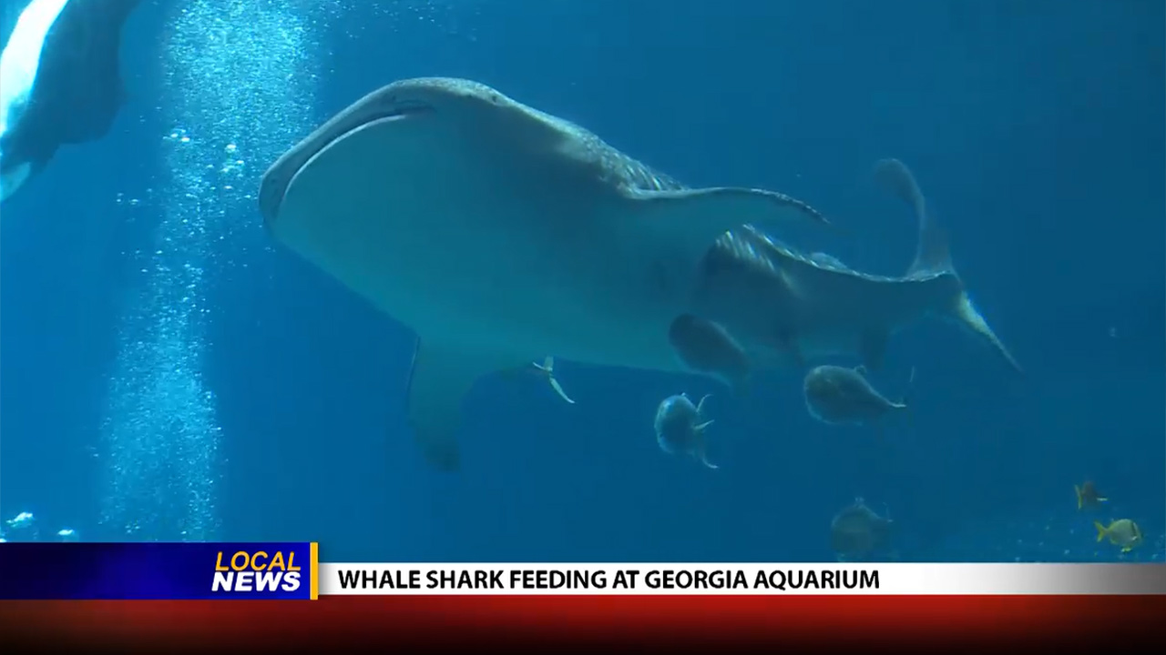 Whale Shark Feeding at the Georgia Aquarium - Local News