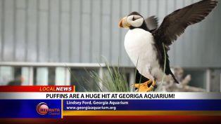 Puffins at Georgia Aquarium - Local News