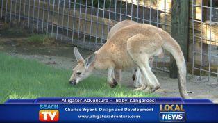 Baby Kangaroos at Alligator Adventure - Local News