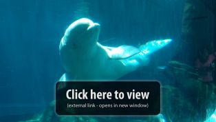 Georgia Aquarium Beluga Whale Webcam