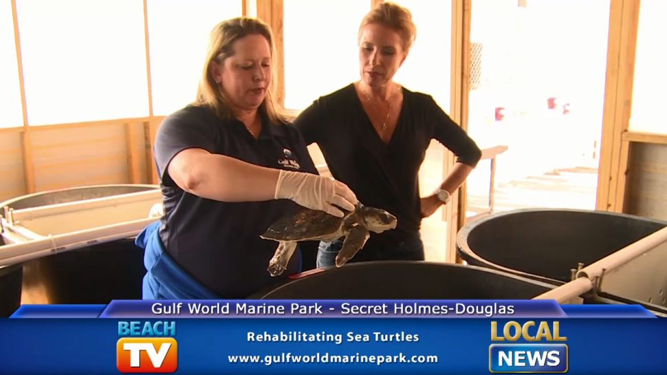 Gulf World Marine Park Rehabilitating Sea Turtles - Local News