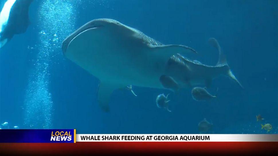 Whale Shark Feeding at the Georgia Aquarium - Local News