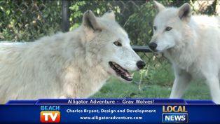 Gray Wolves at Alligator Adventure - Local News