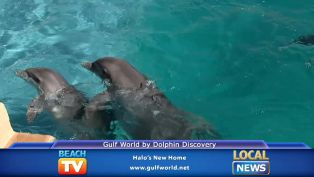 Halo's New Home at Gulf World by Dolphin Discovery - Local News