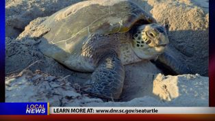 Sea Turtle Nesting Season - Local News