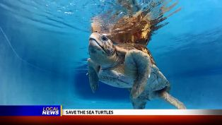 South Walton Turtle Watch - Local News