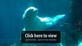 Georgia Aquarium Beluga Whale Webcam