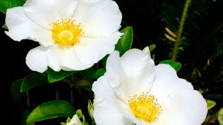 The Cherokee Rose on the Trail of Tears