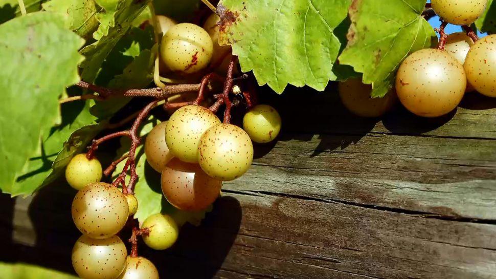Duplin Winery Wine Tip - Muscadine Wines